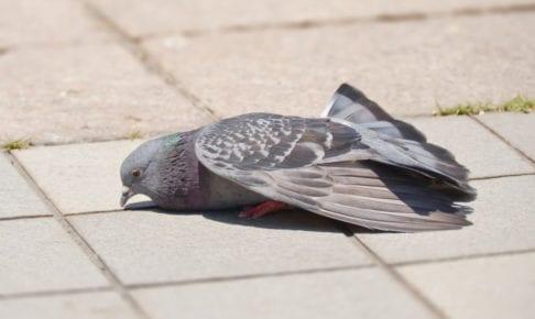 熱中症のハト
